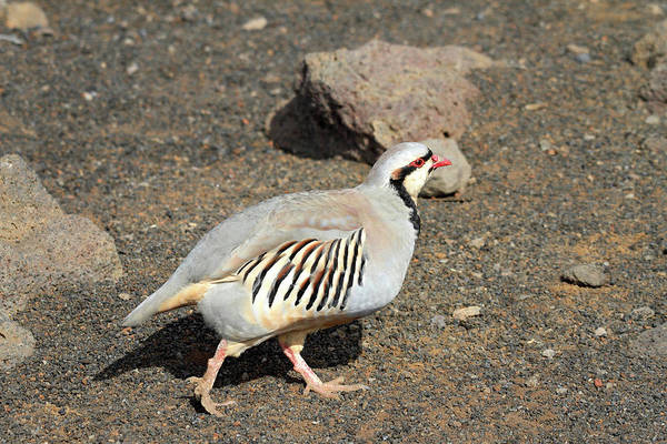 Photograph - Chukar At The Summit Of Haleakala by Pierre Leclerc Photography