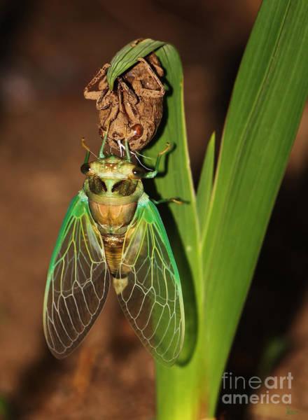 Photograph - Cicada by Jeff Breiman
