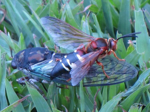 Cicada Wall Art - Photograph - Cicada Killer by John Crothers