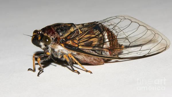 Photograph - Cicada by Mareko Marciniak