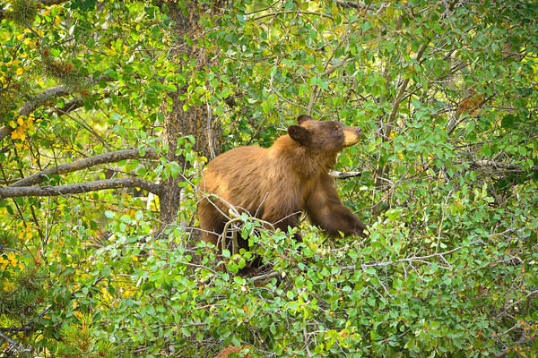 Photograph - Cinnamon Black Bear Limited Edition by Greg Norrell