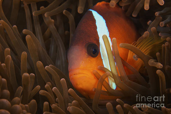Amphiprion Melanopus Photograph - Cinnamon Clownfish In Its Host Anemone by Terry Moore
