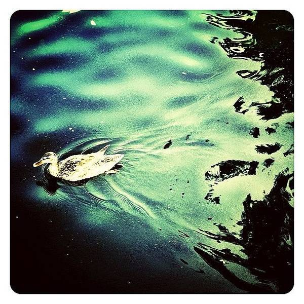 Bird Photograph - City Duck by Natasha Marco