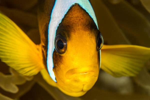 Underwater Camera Photograph - Clark's Anemonefish by Lea Lee