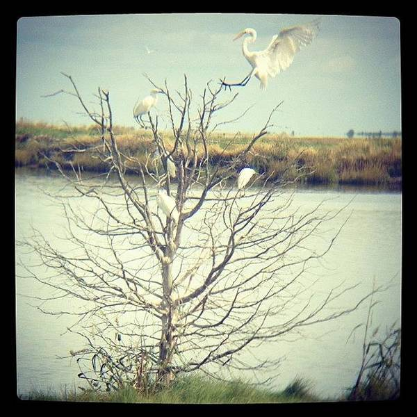 Egret Photograph - Cleared For Landing! #igers #instagram by Tim Paul