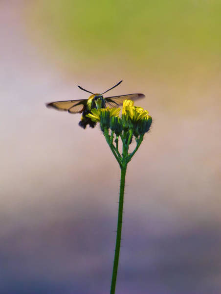 Hemaris Photograph - Clearwing Hummingbird Moth by Bill Tiepelman