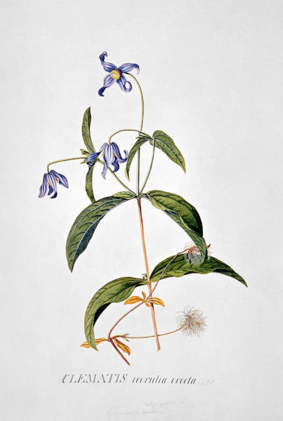 Clematis Wall Art - Painting - Clematis Integrafolia by George Dionysiys Ehret