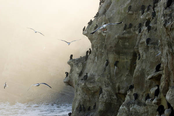 Phalacrocorax Auritus Wall Art - Photograph - Cliffs With Roosting Cormorants by Tim Laman