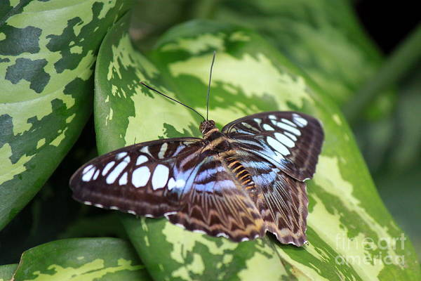 Wall Art - Photograph - Clipper Butterfly by Eric Irion