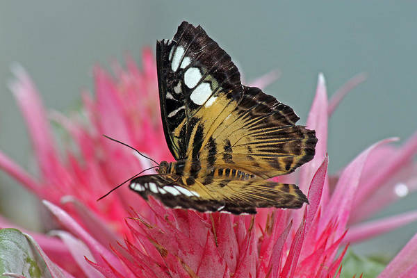 Photograph - Clipper Butterfly by Tony Murtagh