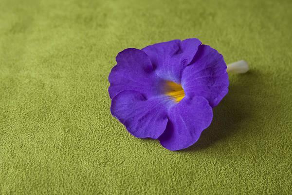 Blue Hair Photograph - Clitoria Ternatea Linn by Atiketta Sangasaeng
