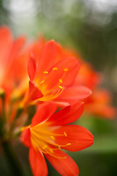 Clivia Wall Art - Photograph - Clivia In The Conservatory by Mike Reid