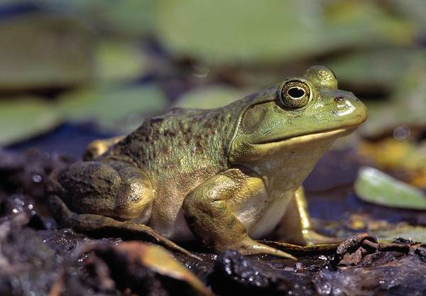 Bull Frog Photograph - Close-up Of A Bullfrog by Natural Selection Bill Byrne