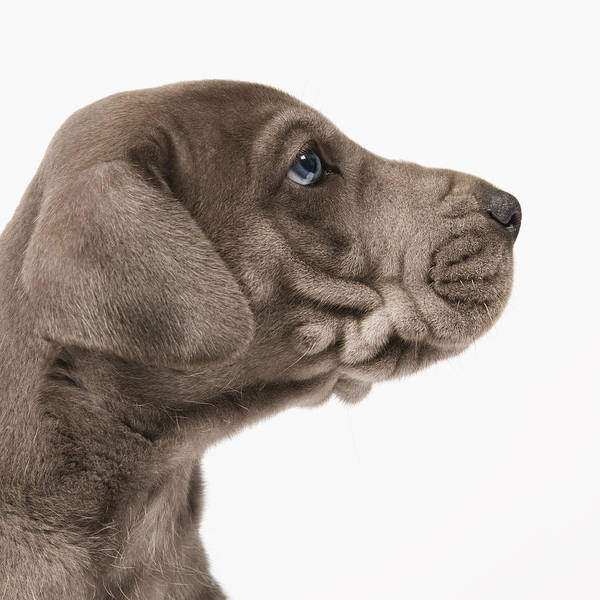 Great Dane Photograph - Close Up Of A Pedigree Great Dane Puppy In Profile by Andrew Bret Wallis