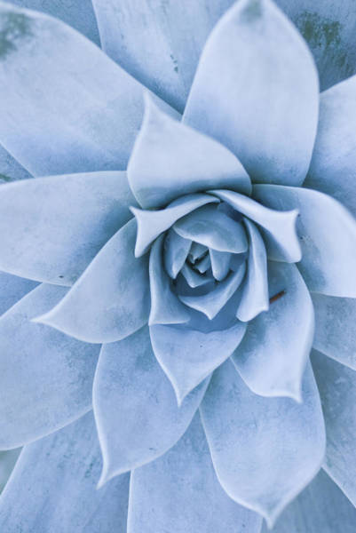 Succulent Photograph - Close-up Of Blue Green Echeveria by James Forte