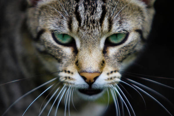 Curiosity Photograph - Close Up Of Cat by Universal Stopping Point Photography