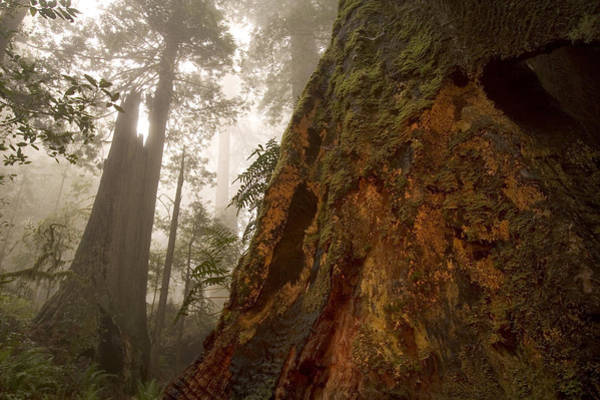 Redwood City Wall Art - Photograph - Close Up Of Coast Redwood Tree Growing by Phil Schermeister