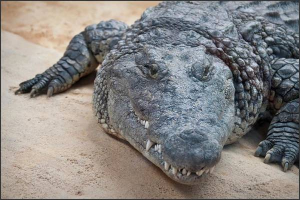 Danger Photograph - Close Up Of Crocodile, Spain by Julio Codesal