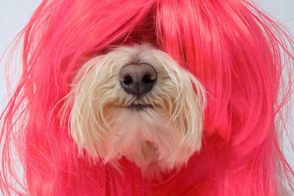 Poodle Photograph - Close-up Of Maltese Poodle Dog In Pink Wig by GK Hart/Vikki Hart