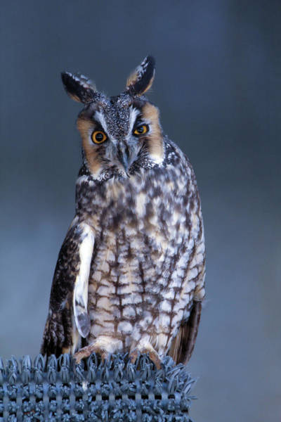 Wall Art - Photograph - Close Up Of Owl by Daniela Duncan