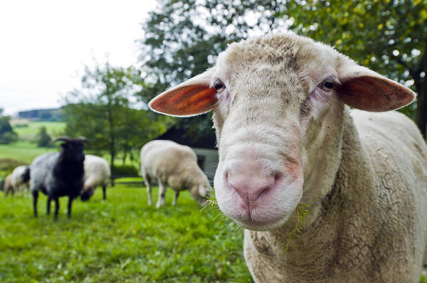 Photograph - Close Up Shoot Of A Sheep On A Lawn The Herd by U Schade