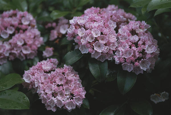 Kalmia Photograph - Close View Of Flowering Mountain Laurel by Darlyne A. Murawski