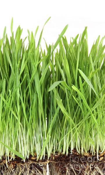 Wall Art - Photograph - Closeup Of Wheatgrass On White by Sandra Cunningham