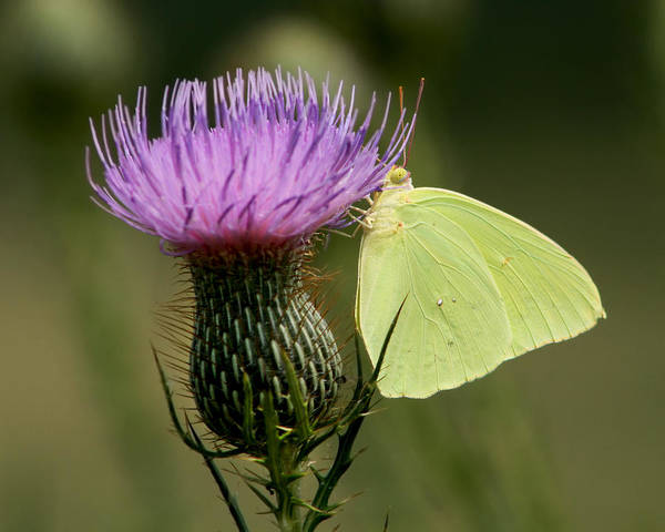 Sulfur Butterfly Wall Art - Photograph - Cloudless Sulfur Butterfly On Bull Thistle Wildflower by Kathy Clark