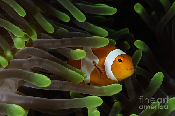 Pomacentridae Photograph - Clownfish In Green Anemone, Indonesia by Todd Winner