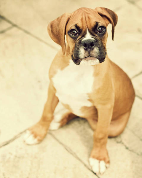 Wall Art - Photograph - Clyde- Fawn Boxer Puppy by Jody Trappe Photography