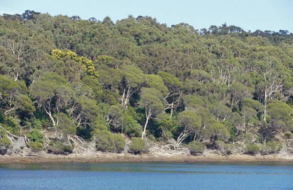 Boyd Photograph - Coastal Heath, Melaleuca Armilaris by Jason Edwards