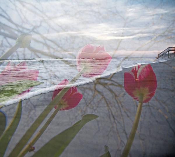 Overlay Photograph - Coastal Tulips by Betsy Knapp