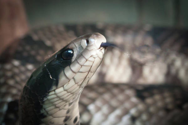 Photograph - Cobra Close-up by James Woody
