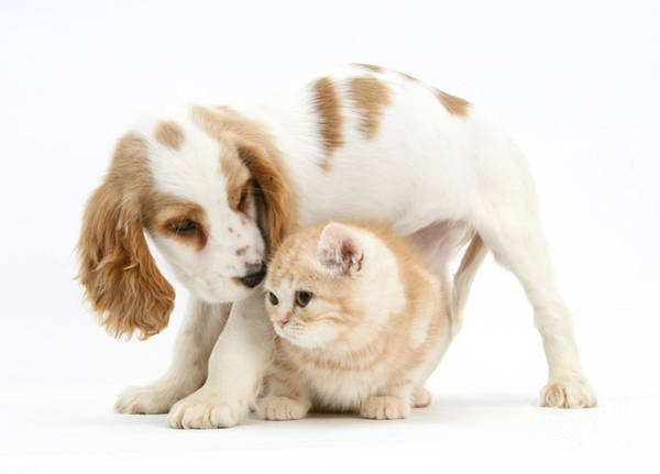 Cocker Spaniel Photograph - Cocker Spaniel And Kitten by Mark Taylor