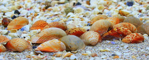 Photograph - Cockle Shellconvention by Sean Allen