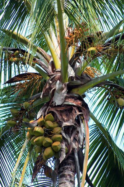 Wall Art - Photograph - Coconut Palm Inflorescence by Karon Melillo DeVega