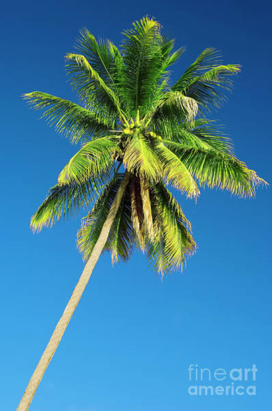 Wall Art - Photograph - Coconut Palm Tree by Matthew Oldfield