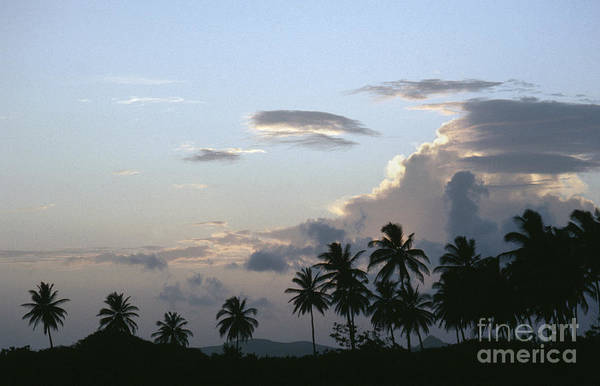 Photograph - Coconut Palms by Granger