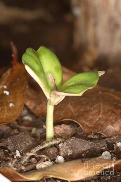 Dicotyledons Photograph - Coffee Seedling by Ted Kinsman