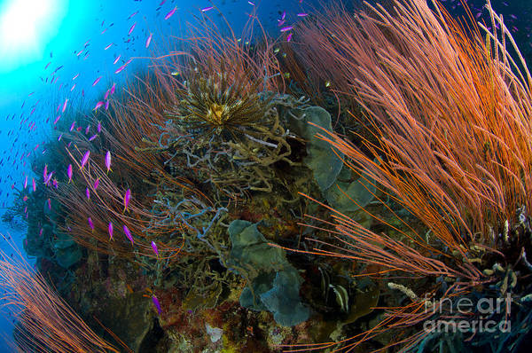 Photograph - Colony Of Red Whip Fan Coral With Fish by Steve Jones