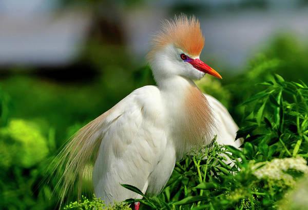 Colorful Cattle Egret Art Print