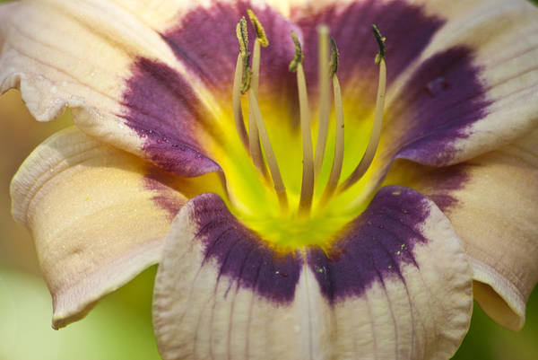 Photograph - Colorful Lily by Jason Pryor