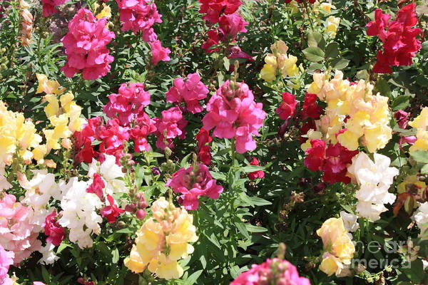Photograph - Colorful Snapdragons In San Antonio by Carol Groenen