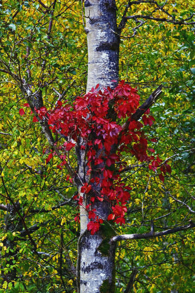 Photograph - Columbia River Red by Wes and Dotty Weber