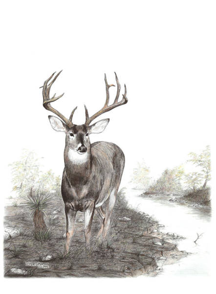 Whitetail Drawing - Coming To Water by Steve Maynard