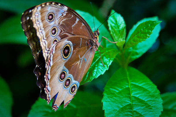 Photograph - Common Blue Morpho Butterfly by David Patterson