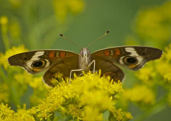 Buckeye Butterfly Wall Art - Photograph - Common Buckeye Butterfly3043 by Michael Peychich
