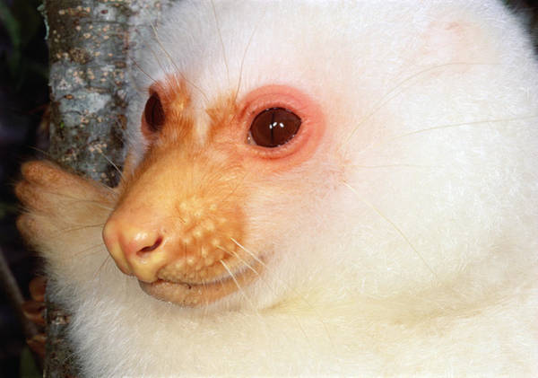 Photograph - Common Cuscus  by Mark Moffett