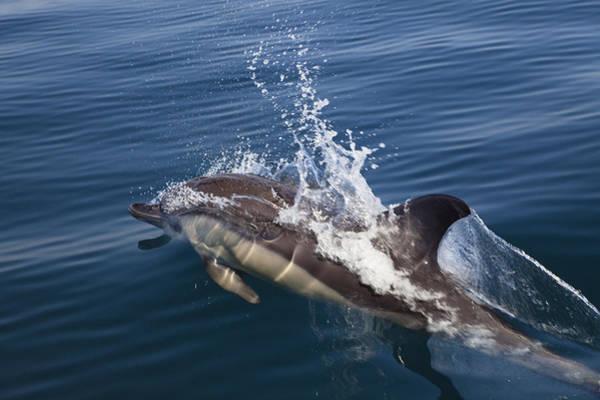 Photograph - Common Dolphin Delphinus Delphis by Konrad Wothe
