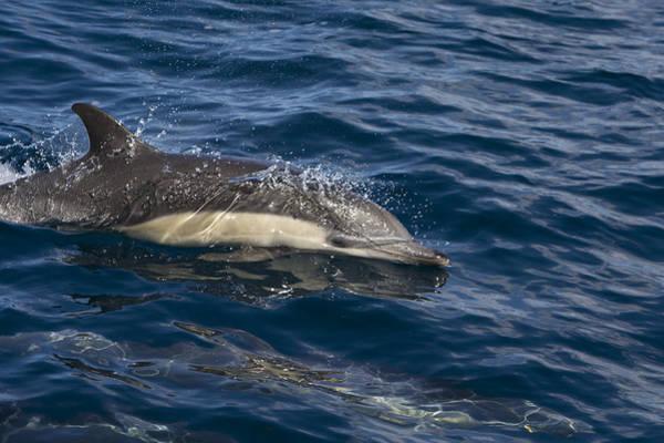 Photograph - Common Dolphin Porpoising Baja by Suzi Eszterhas